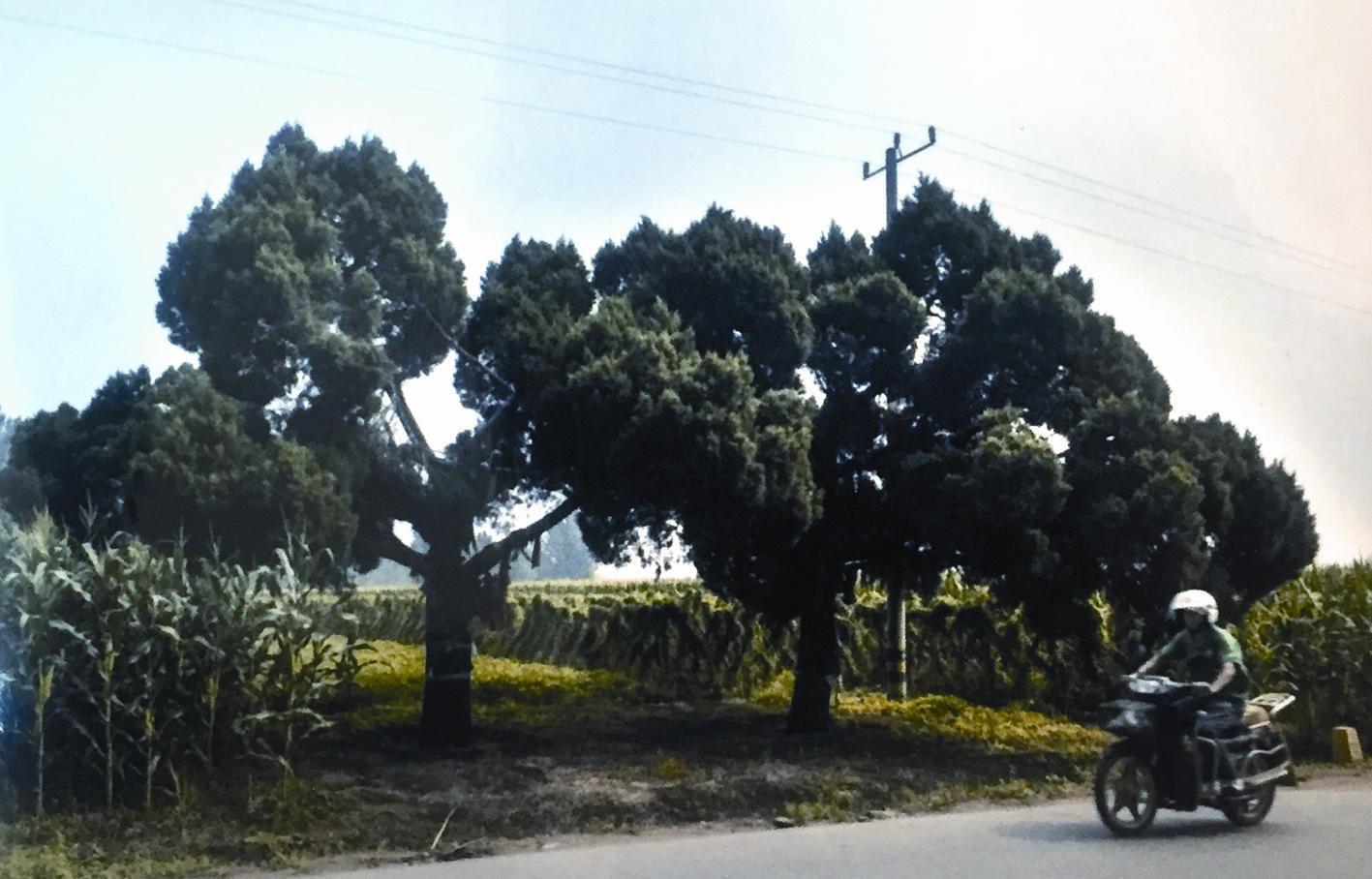 乔木,高可达20余米,幼树树冠呈尖塔状,老树树冠可呈广圆形.